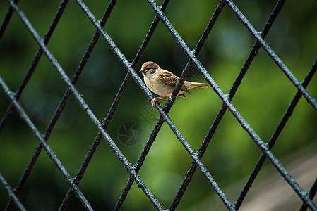 铁网上停息的野生麻雀图片