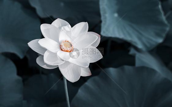 中国风夏天荷花图片