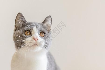 英短蓝白猫图片