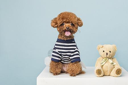 贵宾犬小泰迪图片