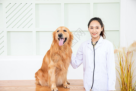 兽医给金毛犬做体检图片