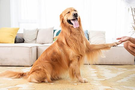 宠物金毛犬图片