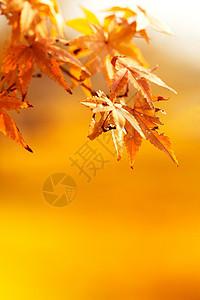 秋季红色枫叶图片