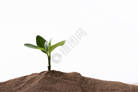 泥土里的嫩芽图片