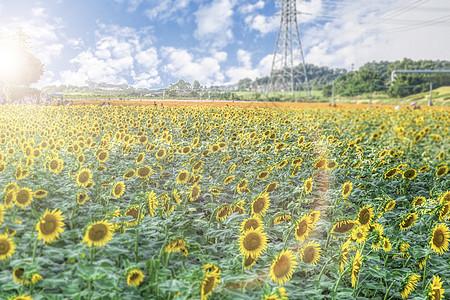 田野里的向日葵田园风景图片