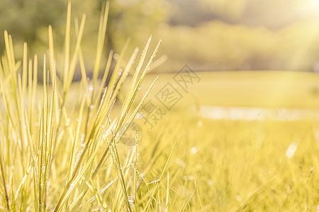 秋季黄色小草露水摄影图片图片