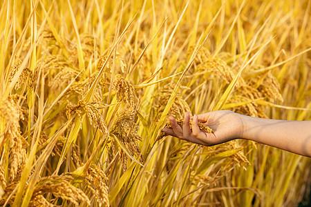 秋天的稻穗图片