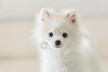 可爱狗狗博美图片
