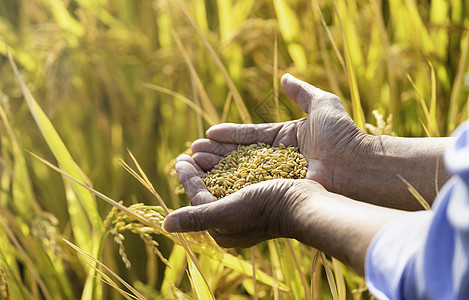 手捧水稻稻谷收获特写图片