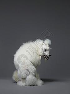 卷毛狗毛狗图片