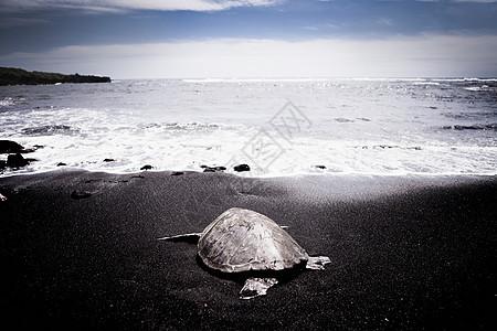 乌龟出海在黑沙滩上图片
