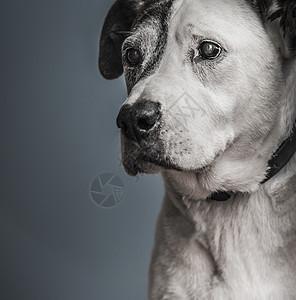 斗牛和大丹犬混血犬肖像图片