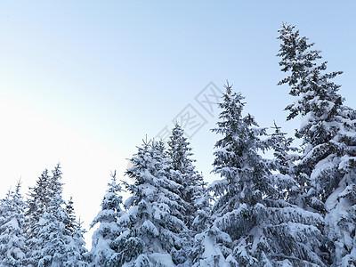 白雪皑皑的松树图片