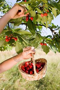 从树上摘樱桃的女孩图片