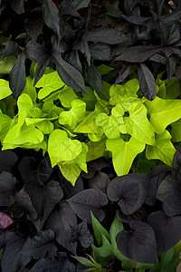 绿叶和深色的叶图片