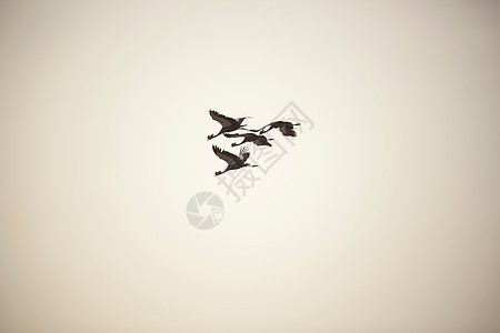喀麦隆北部瓦扎国家公园上空的黑冠鹤图片