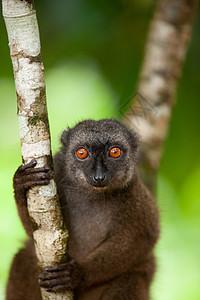 马达加斯加诺西曼加贝岛保护区的一只雌性白额棕色狐猴图片