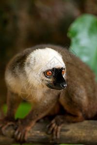 马达加斯加曼加贝岛保护区一只雄性白额棕色狐猴图片