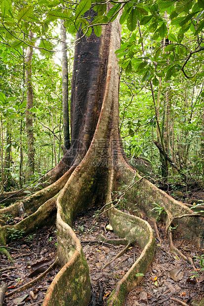 马达加斯加曼加贝岛保护区丛林中的树图片