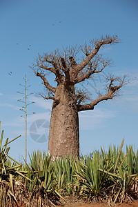 马达加斯加贝伦蒂保护区附近的安波萨里苏德的一棵猴面包树图片
