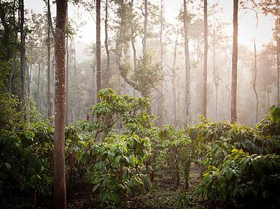 印度喀拉拉邦Wayanad的咖啡种植园图片
