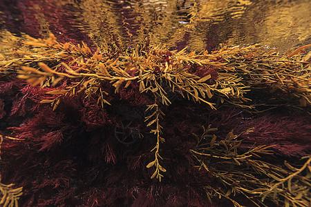 红棕色新西兰海藻,潮间带,贫穷骑士岛海洋保护区,新西兰图片