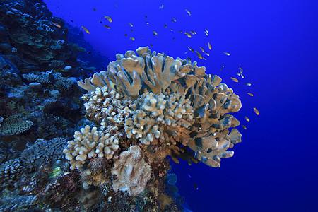 库克群岛帕默斯顿环礁珊瑚头上的礁鱼图片