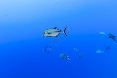 库克群岛帕默斯顿环礁Caranx Lugubris(黑树)水下视图图片