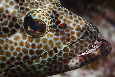 库克群岛帕默斯顿环礁上的石斑鱼(侏儒斑石斑鱼)水下特写镜头图片