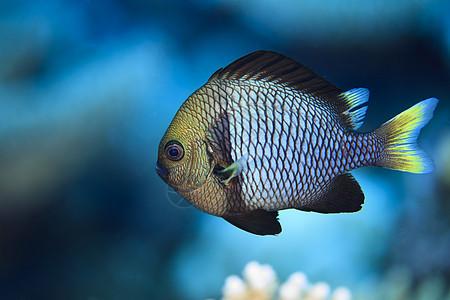 库克群岛帕默斯顿环礁黄尾蛇的水下视图图片