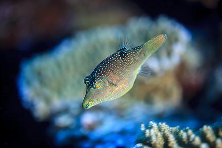 库克群岛帕默斯顿环礁的索兰德里坎蒂加斯特(索兰德托比)水下视图图片