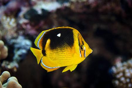 库克群岛帕默斯顿环礁四点斑蝶(四点斑蝶)的水下视图图片