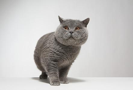 大型灰猫肖像图片