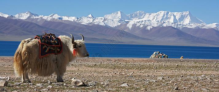 在岩石景观中放牧的白牦牛图片