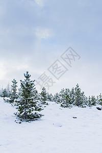 雪中的冷杉图片