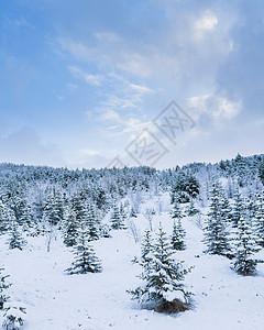 雪域冷杉林图片