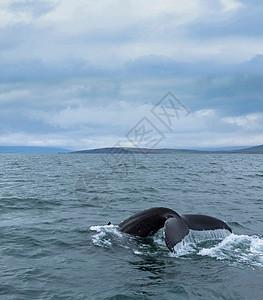 冰岛海面上的鲸鱼尾图片