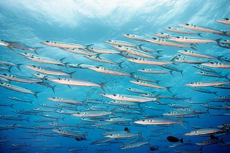 梭鱼在海洋中穿梭图片