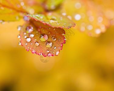 秋叶上的水滴图片