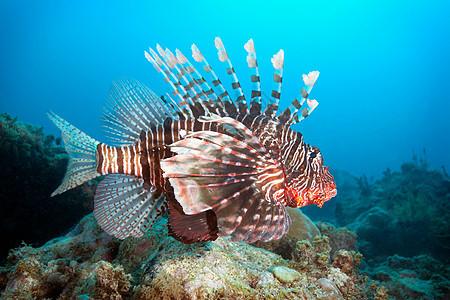 桑给巴尔米坎达礁狮子鱼图片