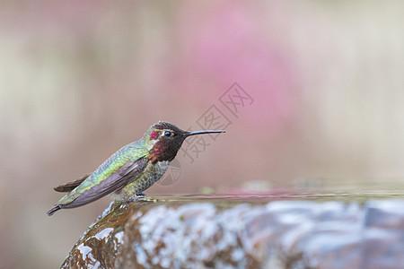 美国加利福尼亚旧金山安娜蜂鸟图片