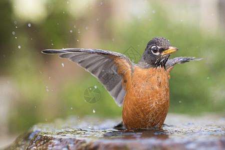 美国加利福尼亚旧金山的美洲知更鸟图片