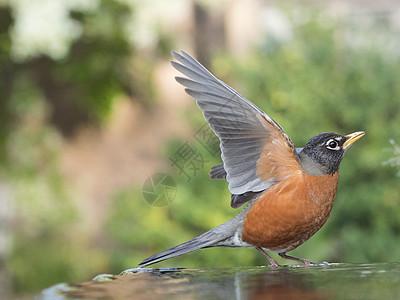 美国加利福尼亚旧金山鸟巢上的美洲知更鸟图片