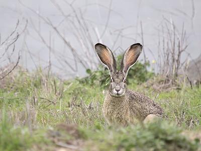 美国加利福尼亚州黑尾野兔图片