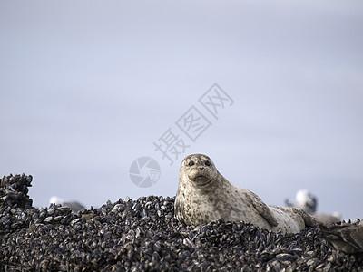 美国加利福尼亚州圣马特奥县海豹图片