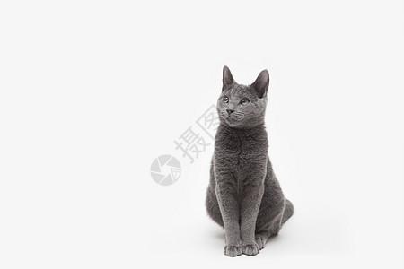 俄罗斯蓝猫图片