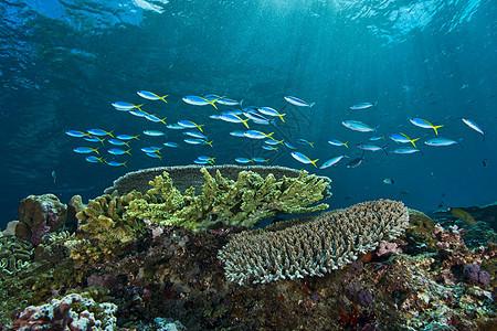 海里的梭形鱼图片