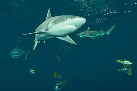 所罗门群岛的暗礁鲨鱼在水下图片