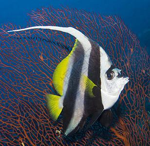 水下长鳍板尾鱼图片