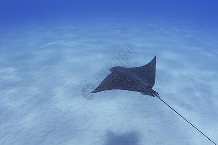 美国夏威夷海底蝙蝠鱼游泳的水下视图图片